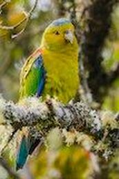 Indigo-winged Parrot, J Cahill